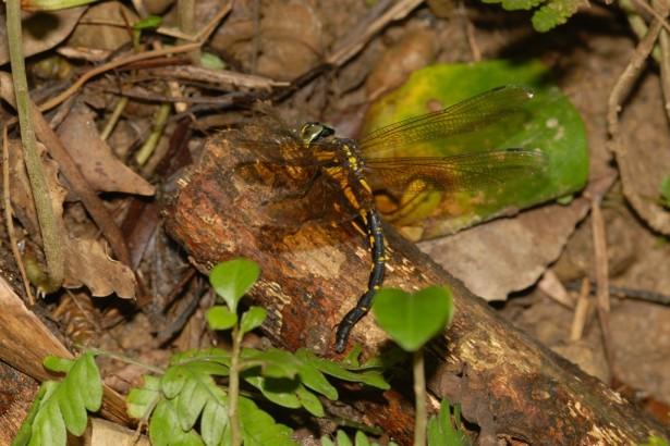 臺灣新發現的第160種蜻蜓─鉤鋏晏蜓