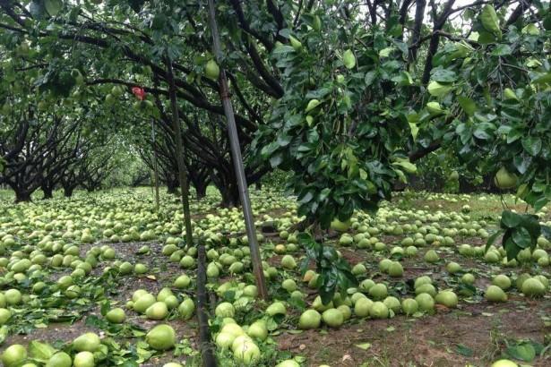 麥德姆颱風重創花蓮  文旦柚近九成受損 農損金額近億