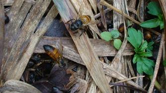 受病毒感染的成蜂只能爬行,腹部因體毛脫落呈黑色油亮狀