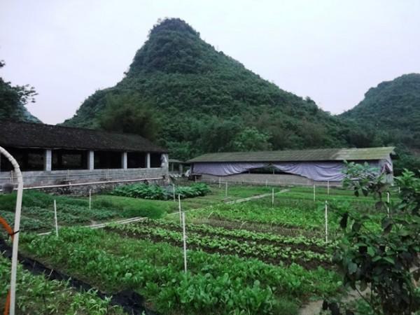 ▲圖3:種養結合的覃建秋農園。圖中段右側是豬圈大通舖,左側是待產的母豬單間育兒套房。(田菁攝)