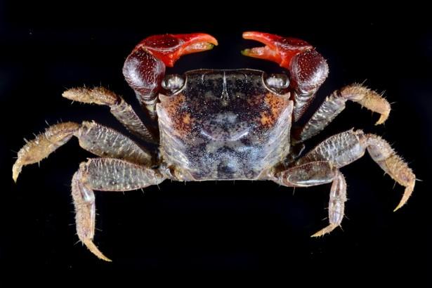 恆春半島陸蟹多樣,再添新紀錄「光滑新脹蟹」