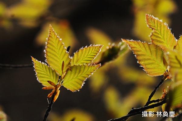 山毛櫸春天嫩葉