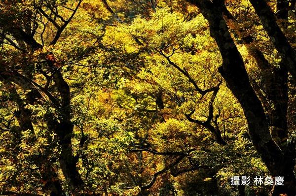 山毛櫸秋天變葉