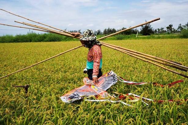 【公民寫手】稻田裡的老鷹風箏