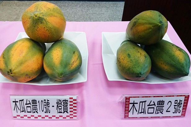 農試所新品種木瓜「橙寶」技轉身價200萬起跳