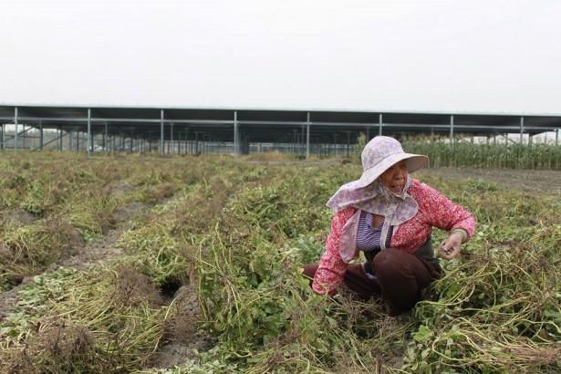 嚴重乾旱 玉米不結籽蕃茄不轉色 12月決定明年一期稻作是否休耕