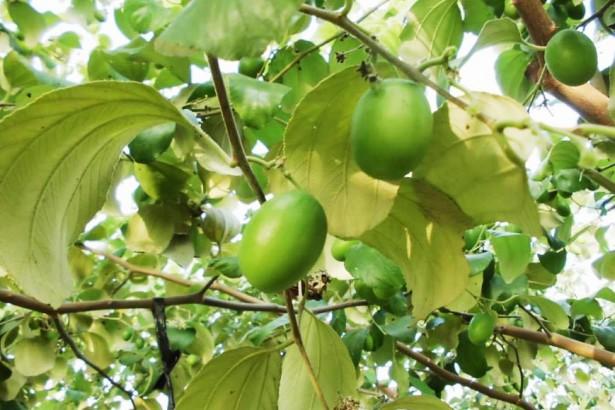 有機棗園徵疏果人手 一日一千 園主願分享有機栽培經驗