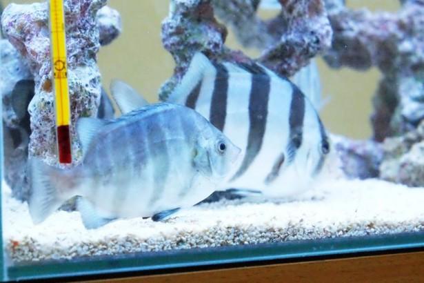 花東海洋深層水控溫  條石鯛首度人工養殖成功