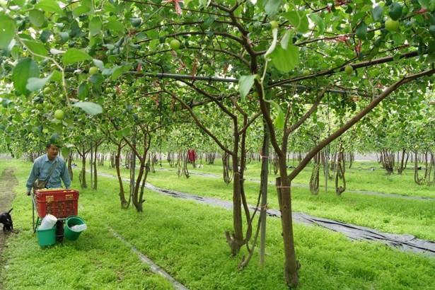 青年棗農張傑雄的雜草管理學 不讓塑膠布在田間侵門踏戶