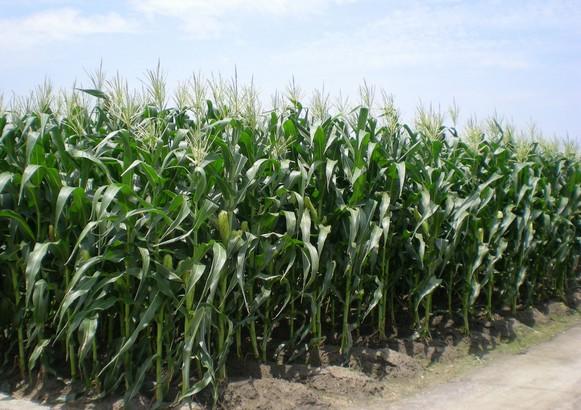 甜玉米有毒?農糧署食用玉米抽驗 全通過農藥殘留檢測