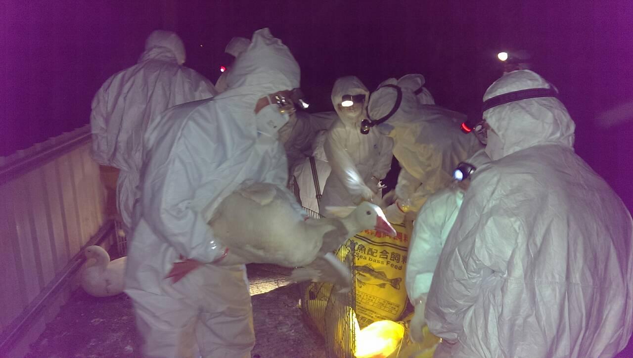 第一線防疫人員連夜撲殺病鵝,防止疫情擴散。