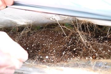 水凝膠膜上爬滿了滿滿的根