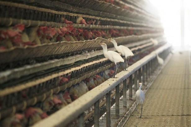 台灣家禽產業飼養方式也必須有所變革,才能降低遭受禽流感病毒襲擊的風險。(圖/汪文豪攝影)