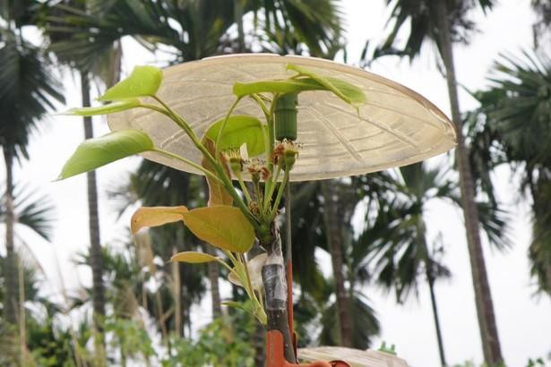外來入侵種梨木蝨在台「落戶」 花改場建議梨農及早防治