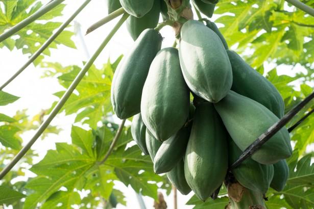 田間試驗未過 本土基改木瓜研究20年劃上句點