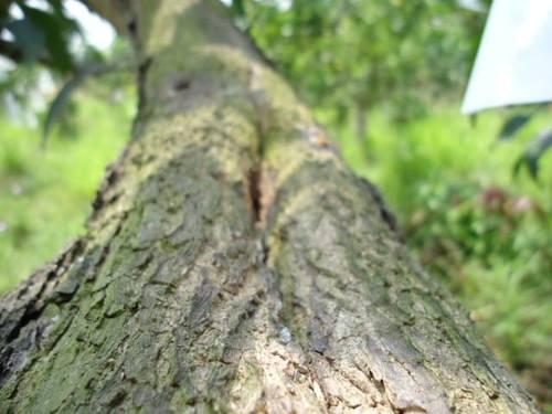 修復芒果樹