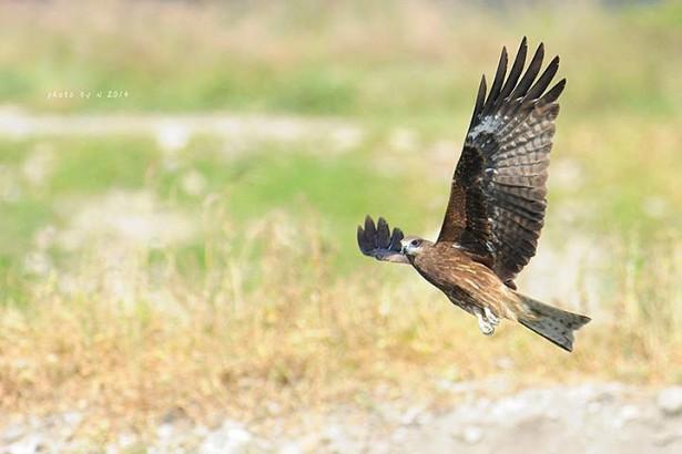 滅鼠日成猛禽忌日 農委會取消「滅鼠週」保護老鷹