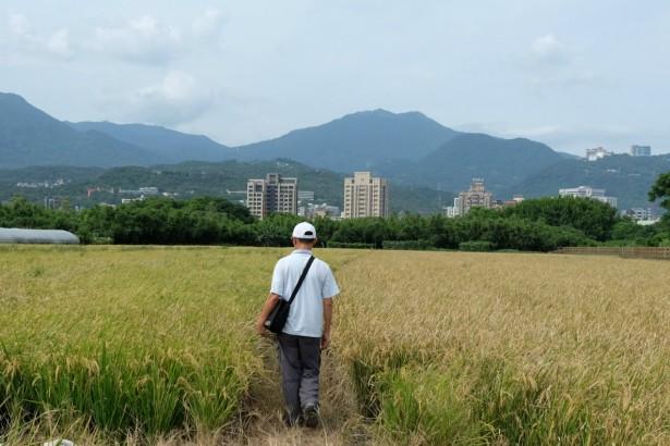 減水3成「根」強壯 關渡SRI種稻試驗 為氣候變遷找出路