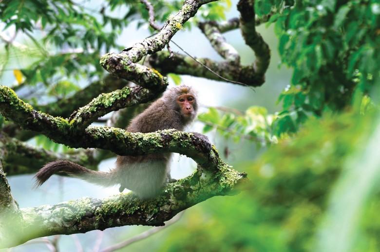 在多數農友眼中的「潑猴」,卻是綠保農友大自然的朋友。(林清峰提供)
