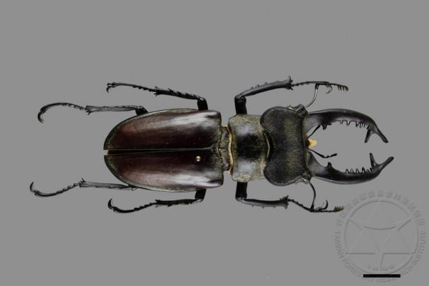 林業試驗所上傳8萬張昆蟲標本照片,可清楚觀察輪廓、色澤、構造等,其中右下方黑條為1公分比例尺。(林業試驗所提供)
