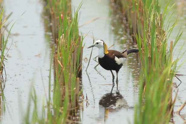 水雉悄悄現身新南水田,令農民與愛鳥人士興奮。(圖/林哲安提供)