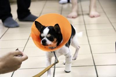 狗狗裝上3D列印技術製作的義肢。(圖/屏科大提供)