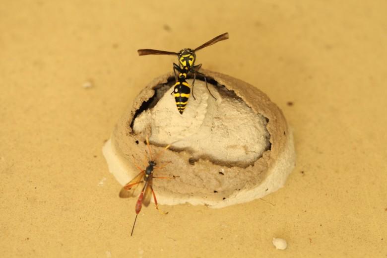 蜾蠃(上)為了防止寄生蜂(下)入侵,特別將巢構築兩層。(李偉傑提供)