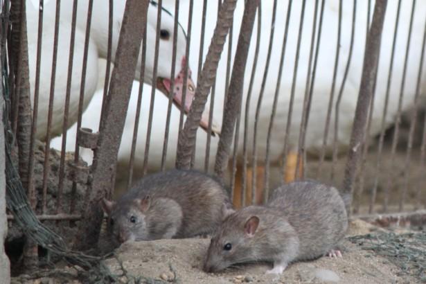 國內許多市場或畜牧養殖場環境不佳,老鼠橫行,容易傳播漢他病毒。(圖/汪文豪攝影)