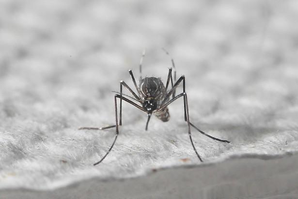 埃及斑蚊成蟲(圖/台大環境衛生研究所蟲媒傳染病實驗室提供)