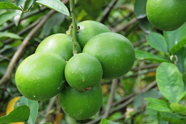 當檸檬步上柳丁後塵:搶種→價跌+黃龍病蔓延