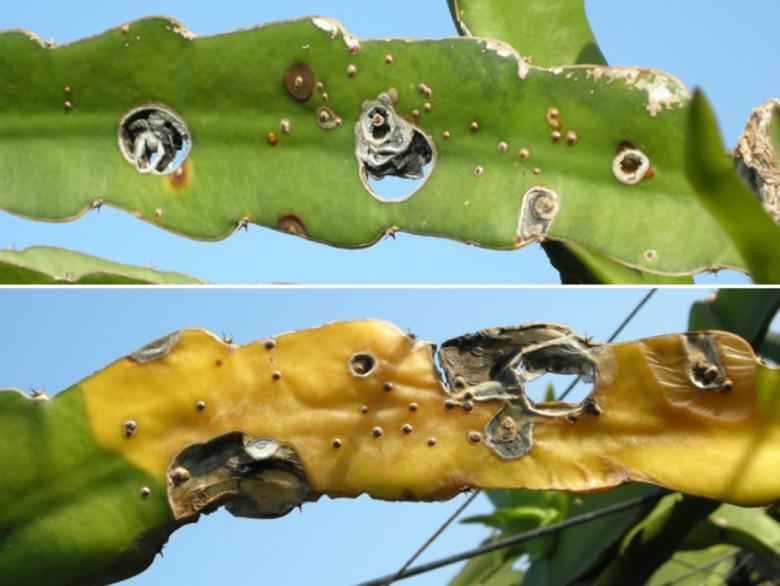 潰瘍病造成紅龍果枝條與果實罹病嚴重,產量因而嚴重損失。(圖片提供:農試所)