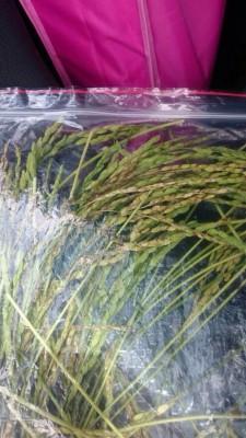 稽查人員到農田採樣再生稻送檢(圖片來源:台南市衛生局)