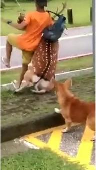 墾丁國家公園上月傳出有犬隻追逐梅花鹿,導致梅花鹿不慎撞人的意外。(圖片來源截自中央社報導)