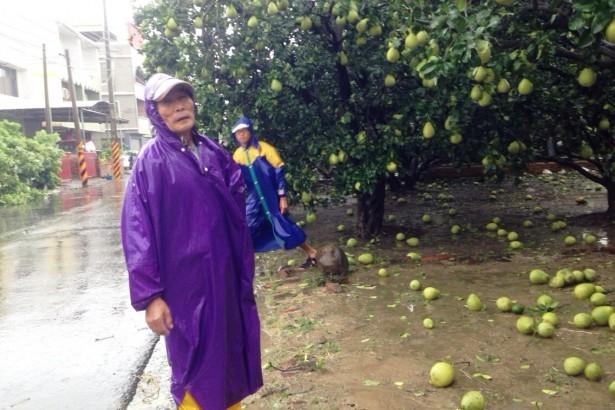 蘇迪勒颱風重創麻豆文旦近三成,為莫拉克以來最嚴重災情。(圖/麻豆區公所提供)