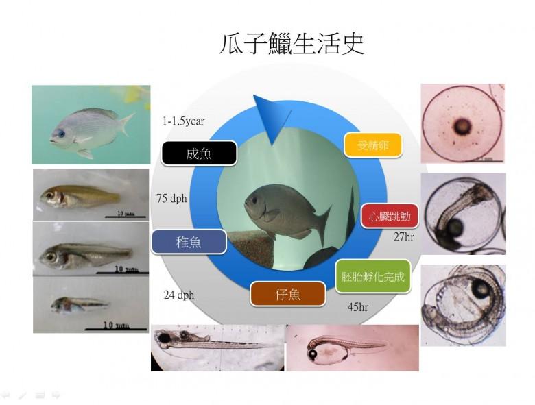 瓜子鱲約1年可為成魚,但須再過1年才會產卵;而野生的瓜子鱲習慣於近海產卵後,再回到磯岸攝食海藻。(冉繁華提供)