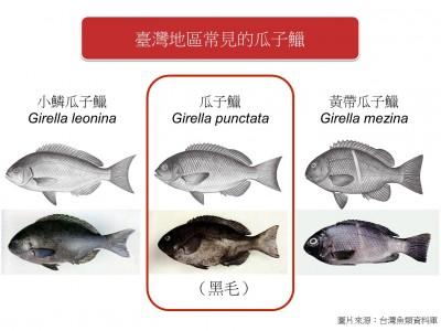 瓜子鱲在全台近海都有分布,而整個西太平洋從北海道到海南島都可以看見牠的蹤跡。(冉繁華提供)