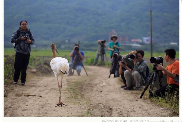 小白鶴躲人都來不及 新北動保處竟邀民眾揪團來攝影