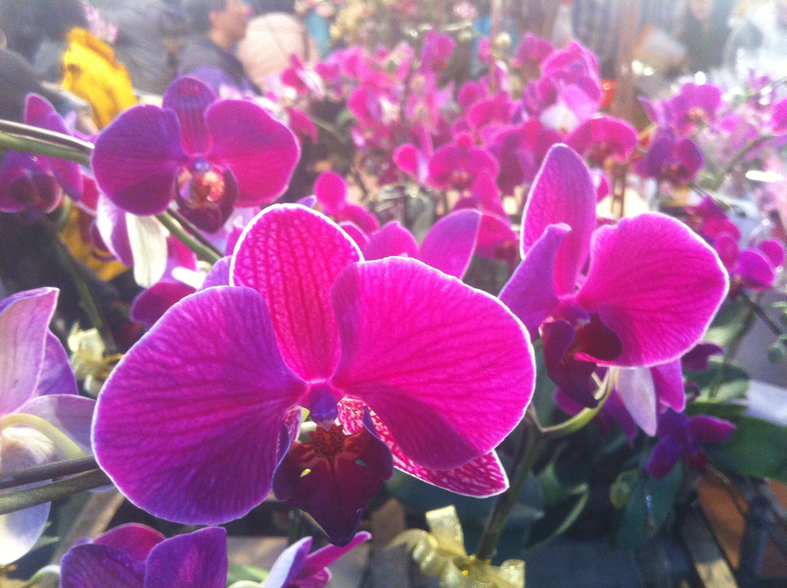 HK_CWB_維園年宵市場_Victoria_Park_Fair_-_flowers_purple_蘭花_Jan-2012_Ip4