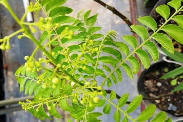 森林植物的化學武器 人類的藥用靈感來源