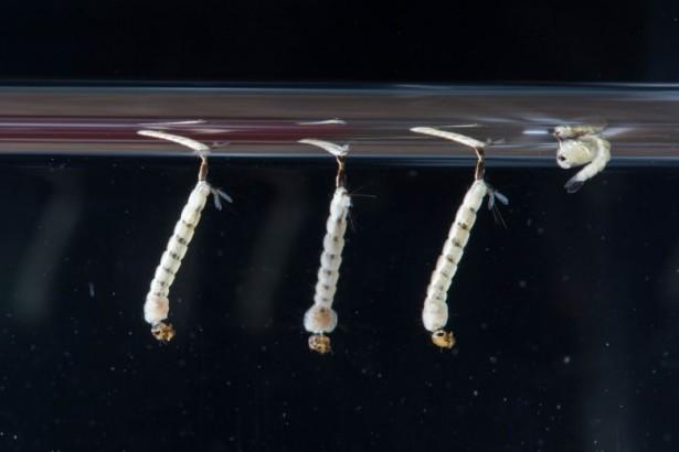 斑蚊幼蟲(圖片提供:台大公共衛生學院蟲媒傳染病實驗室)