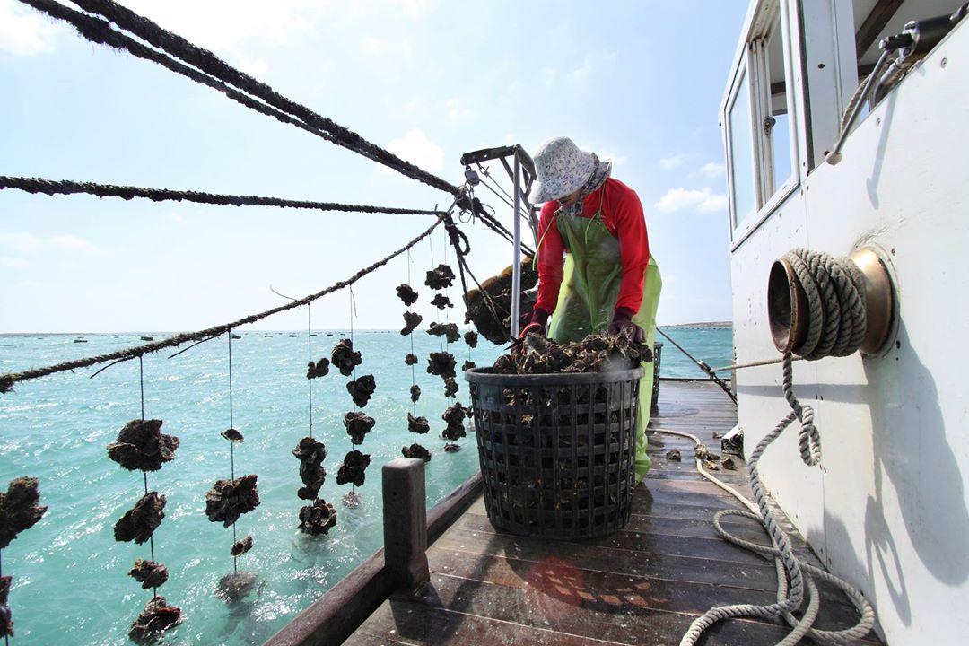 澎湖牡蠣採浮棚式養殖,夏季漁民要開船到海上,把蚵串拉起來曬日光浴,防止扁蟲(圖片提供:澎湖郭家牡蠣)