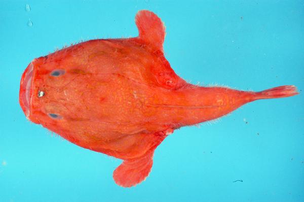 單棘躄魚的肉質據說像「青蛙肉」,因此具有經濟價值。(圖/何宣慶提供)
