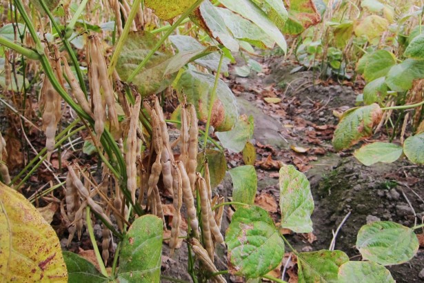 農藥芬普尼明年起禁用 紅豆農急尋替代藥劑