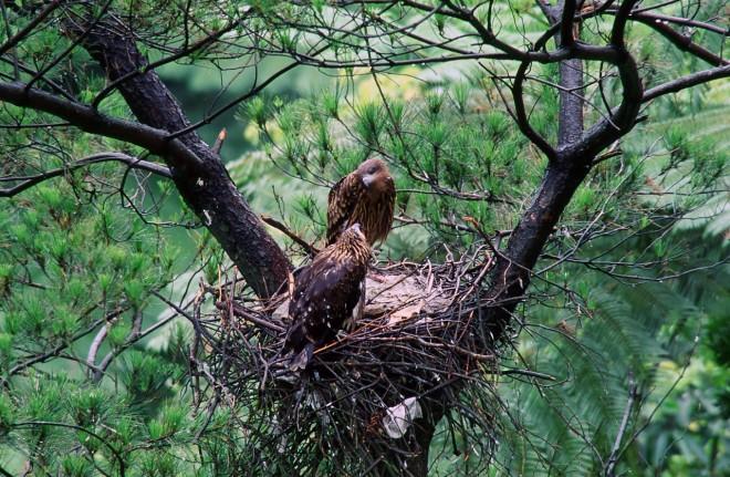 老鷹家族(圖片提供:社團法人台灣猛禽研究會)
