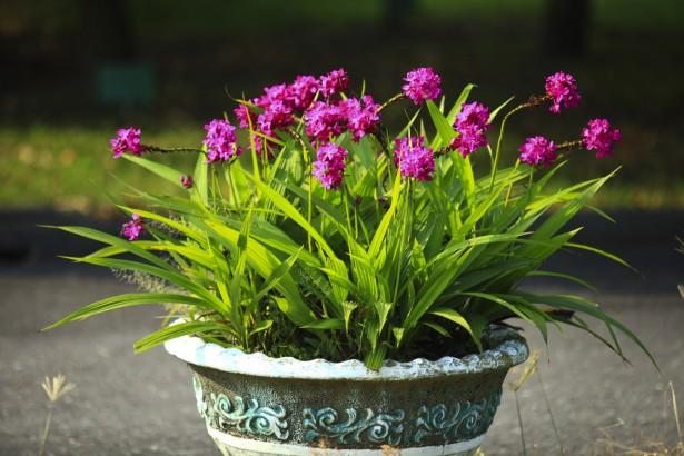 蘭嶼原生紫蘭為本 農改場育出新款苞舌蘭