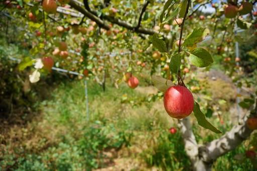 陪農友一起種蘋果 消費者參與驗證