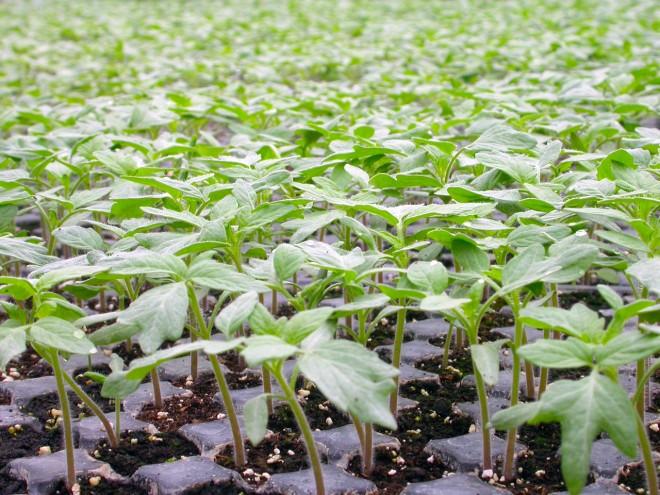 圖一、本技術可建立有機番茄穴盤苗標準栽培管理流程,以提升有機穴盤苗品質,並符合臺灣有機農業生產規範。