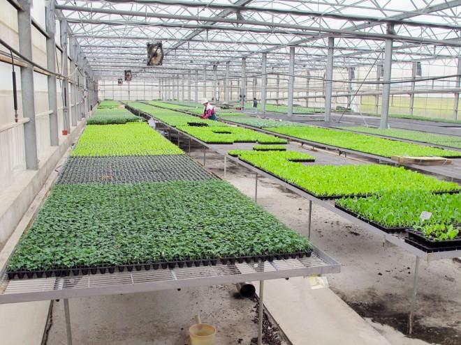 圖二、本技術可授權種苗業者或有機農民,應用於有機番茄穴盤苗生產。