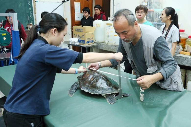 興大生科系吳聲海副教授(右)為綠蠵龜進行測量