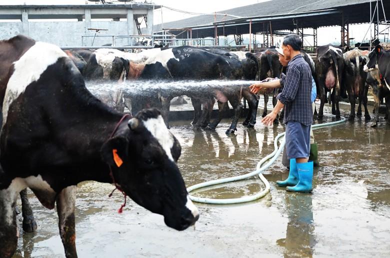 高大牧場每天要洗四次牛
